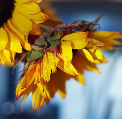 Wilting Sunflowers