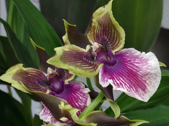 orchid2 456