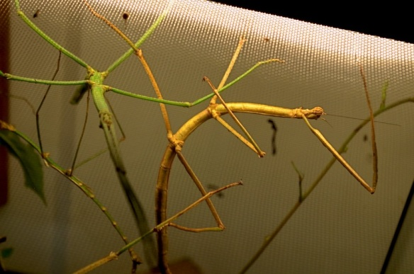 Giant Wingless Walkingsticks. Although this photo is mostly out of focus, I'm including it to show how much the insect can bend its body. These two look like they're doing a ballet.
