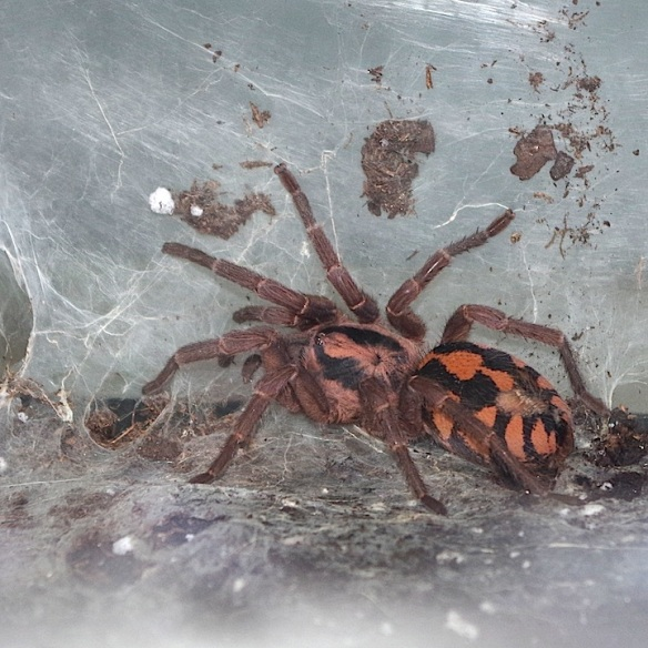 Pumpkin Patch Tarantula