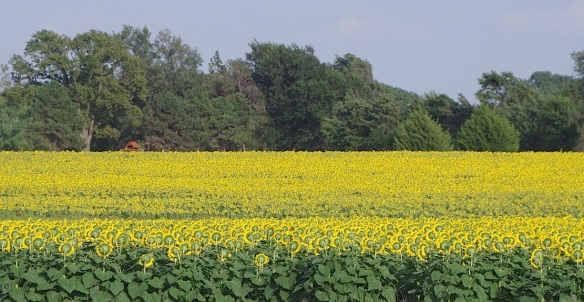 Cultivated sunflowers east of Lindsborg, Kansas
