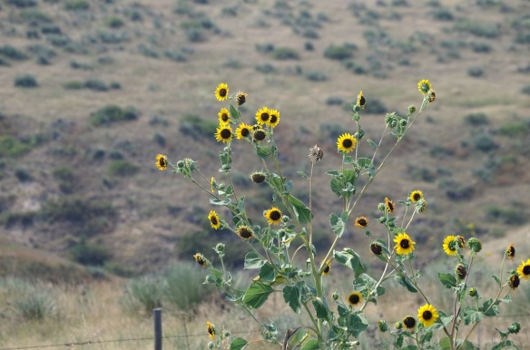 Wild sunflowers, northwest Kansas