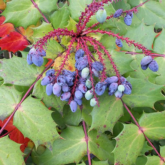 berries-1470