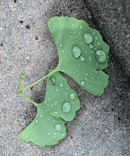 ginkgo-leaves-1462