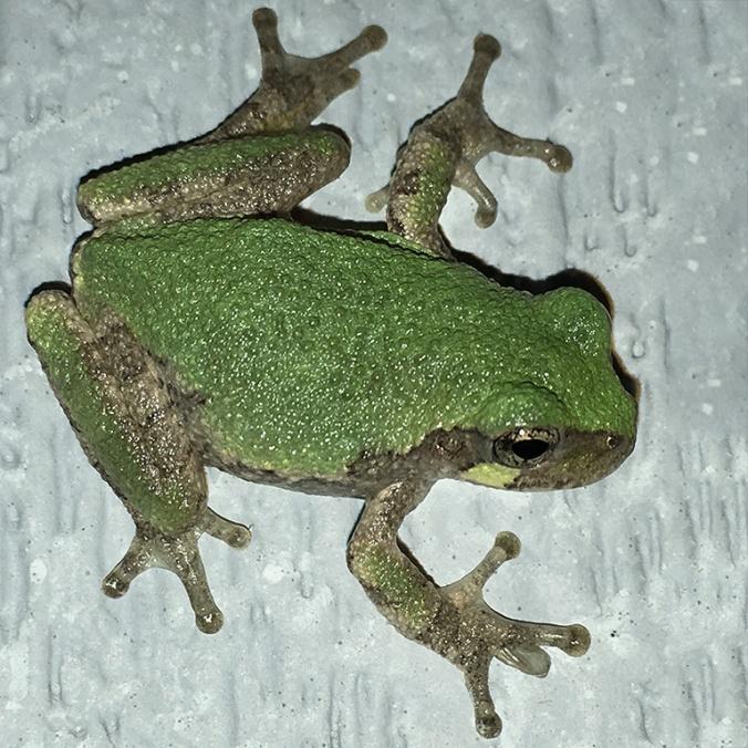 gray-treefrog-0238