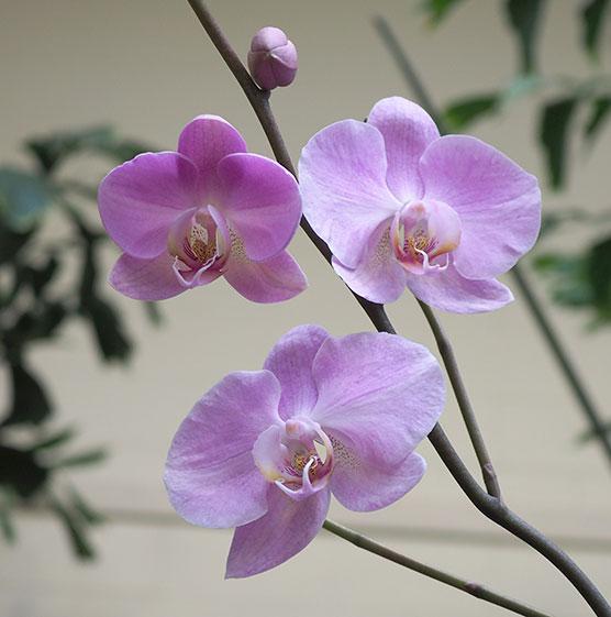 phalaenopsis-hampshire-clouds-p2060079