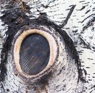 Aspen-trunk-P3050311
