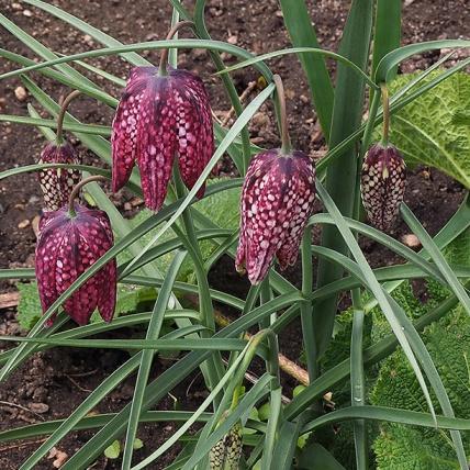 Fritillaria-P4020063