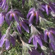 Pasque-flower-P4020032