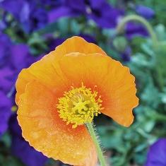 Poppy-possibly-P4020209