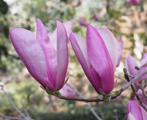 Tulip-magnolia-P4020191