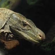 crocodile monitor lizard