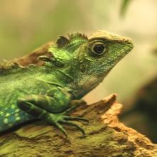 giant hump-headed lizard