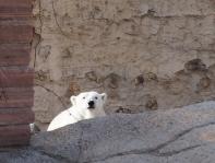 How to make a grown polar bear look small