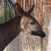 Okapi portrait