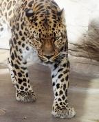 Leopard pacing