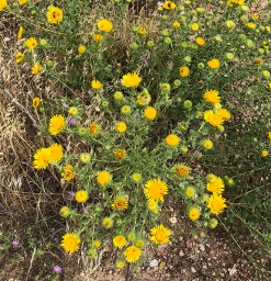Hairy golden aster and other flowers