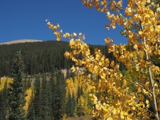 Foreground aspen