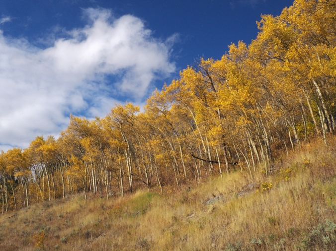 Aspens west of Beartooth Pass