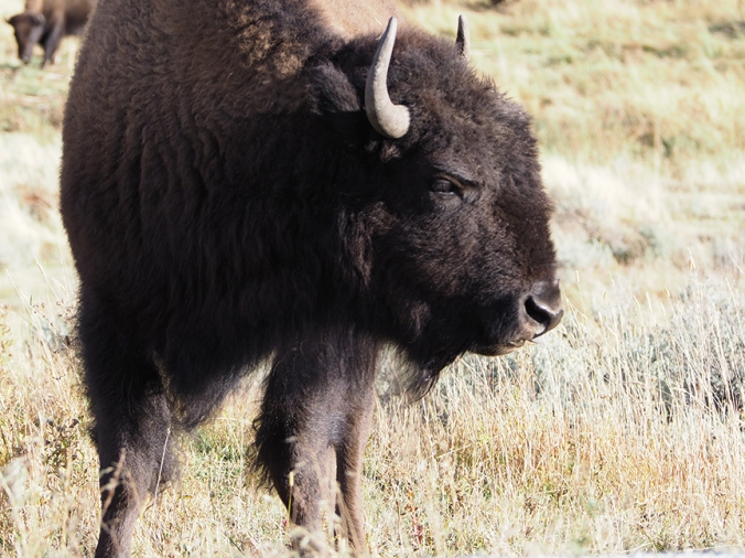 Buffalo closeup