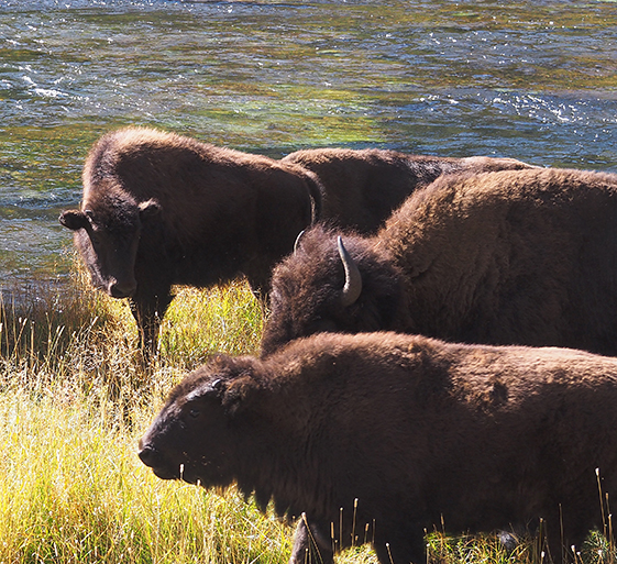 Buffalo herd by the Madison River