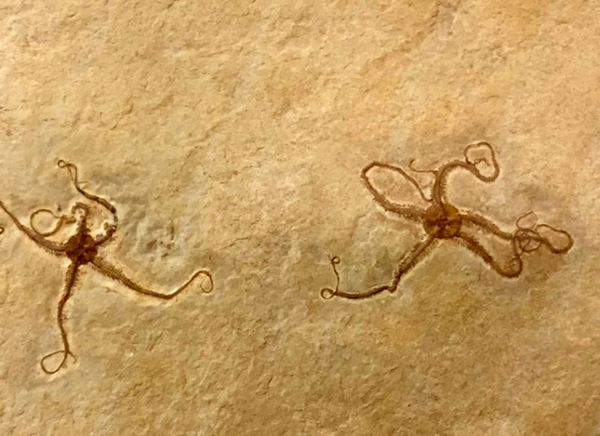 Fossil brittle stars