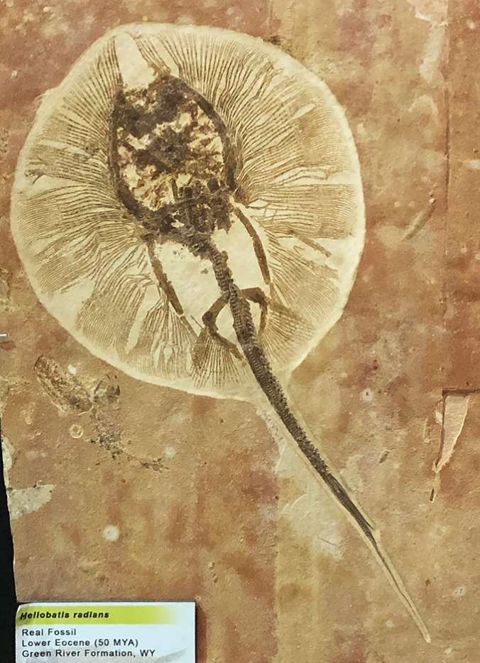 Fossil of whiptail stingray