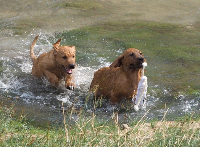 Pups being trained to retrieve ducks