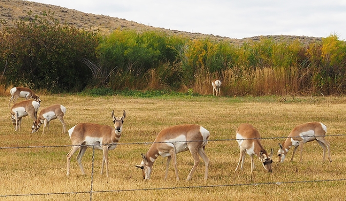 Pronghorn antelope, Fort Washakie, Wyoming