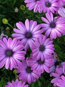 Osteospermum Tradewinds Light Purple