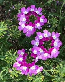 Verbena Obsession Cascade Twister Violet